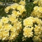 八重黄モッコウバラ