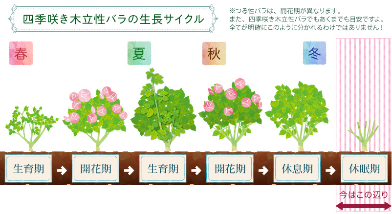 バラの生育ステージ