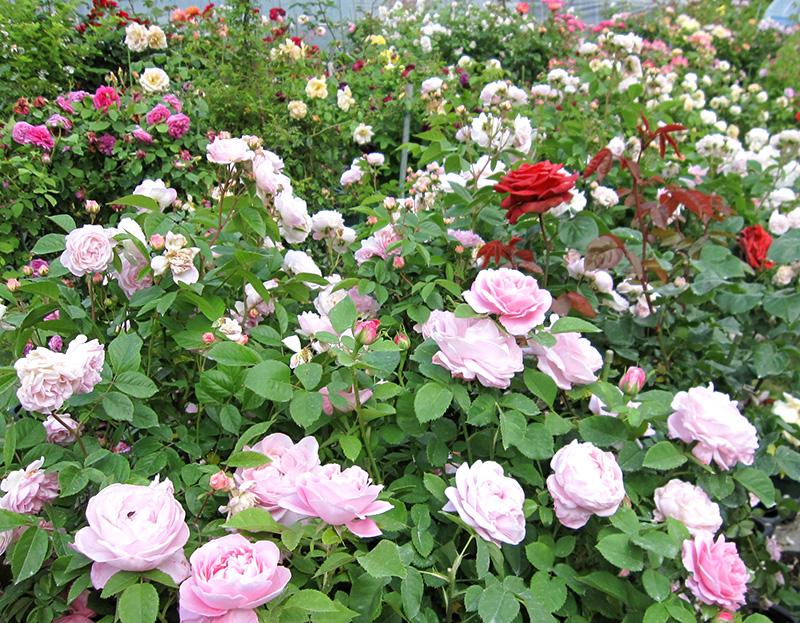 バラの花を楽しもう!