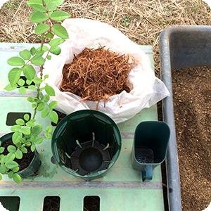 バラの新苗の植え替え